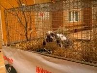 Kælekanin, kaninudstilling, Nordhallen. Foto: Jette Hallig.