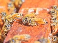 Egen honning i 2017